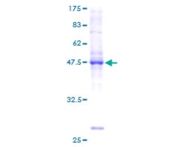 BRF1 Protein