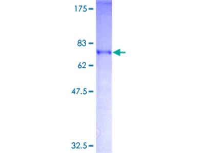 AKAP17A / 721P Protein