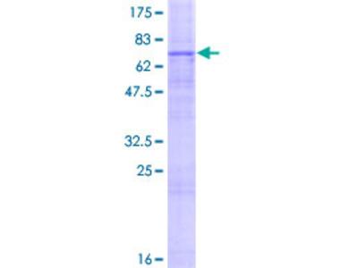 SLC52A1 / GPR172B / PAR2 Protein