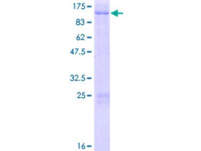 AKAP8 / AKAP95 Protein from LifeSpan BioSciences