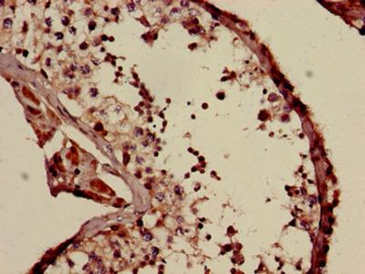 COQ6 Antibody