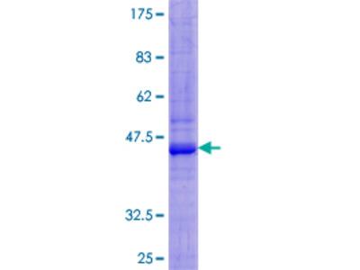 SIRPB1 / CD172b Protein