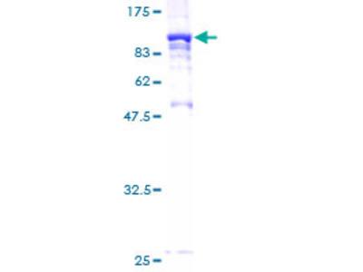 STXBP2 Protein