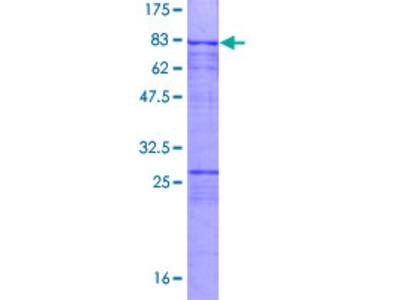 SAS6 / SASS6 Protein