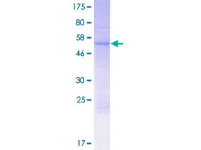 GPR78 Protein