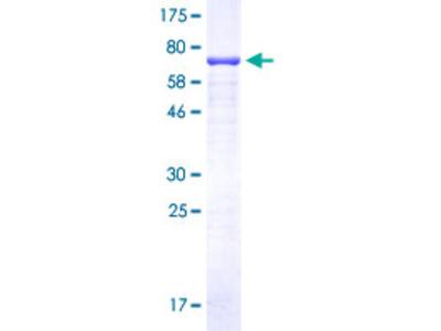 C9orf72 / ALSFTD Protein