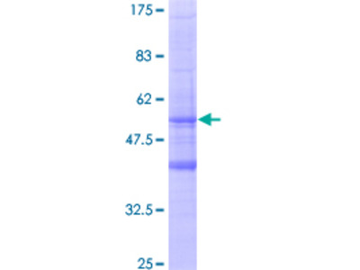 MS4A6A / MS4A Protein