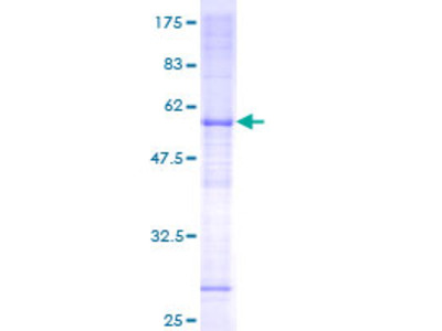 FAM210A Protein