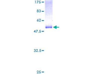 RTN3 / Reticulon 3 Protein