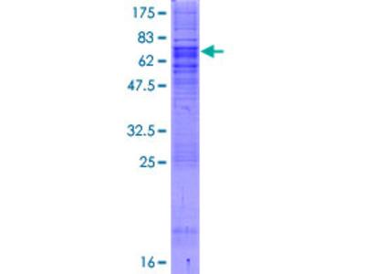 SEC61A1 / SEC61 Protein