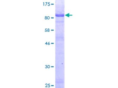 HLX1 / HLX Protein