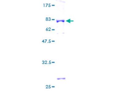 ACY1 / Aminoacylase 1 Protein