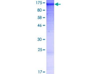 ANKRD27 Protein