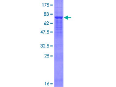 FBX09 / FBXO9 Protein