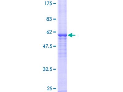 NAT2 Protein