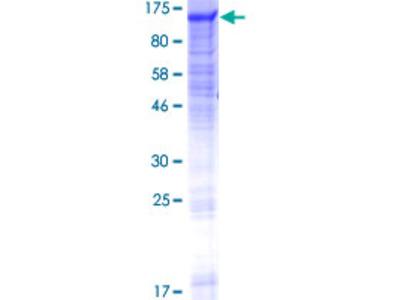 GANC Protein