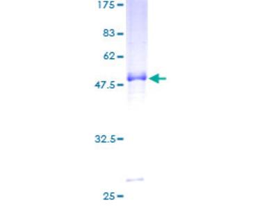 PCSK4 Protein