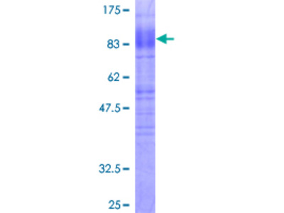 SLC1A3 / EAAT1 Protein