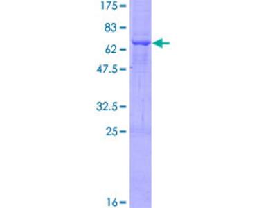 ST8SIA2 / STX Protein