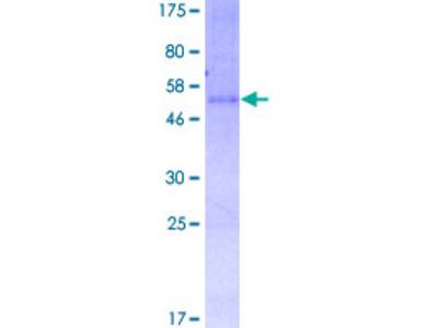 GPR3 Protein