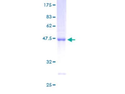 ARL8B Protein