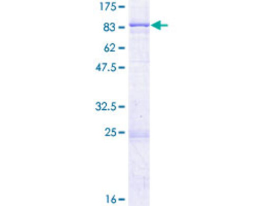 SPTLC2 / LCB2 Protein