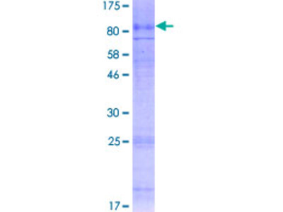 SLC7A4 Protein
