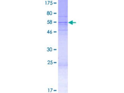 FAM92B Protein