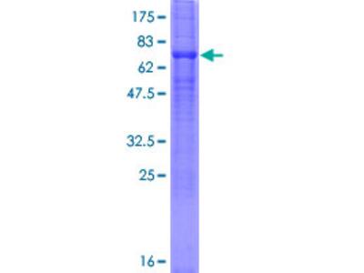SLC23A2 / SVCT2 Protein