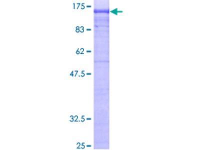 AP2B1 Protein