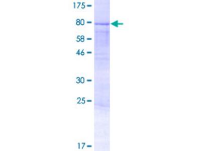AMOTL2 Protein