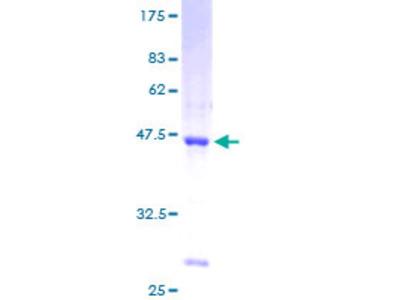 SSBP1 / mtSSB Protein