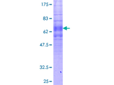 FPR1 / FPR Protein