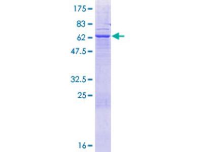 ABHD17A / FAM108A1 Protein