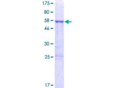 ARMC10 Protein