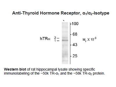 Anti-Thyroid Hormone Receptor, alpha1/alpha2-Isotype
