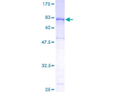 ICAM3 / CD50 Protein