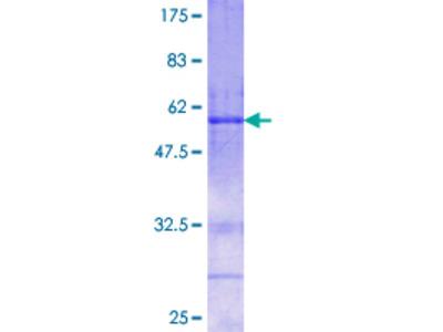 FSTL3 / FLRG Protein