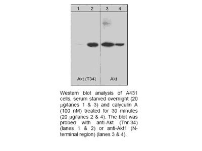 Akt (Thr-34), phospho-specific