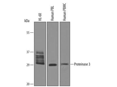 Proteinase 3 / Myeloblastin / PRTN3 Antibody