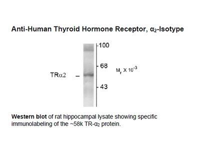 Anti-Thyroid Hormone Receptor, alpha2-Isotype