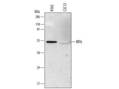 IRF6 Antibody