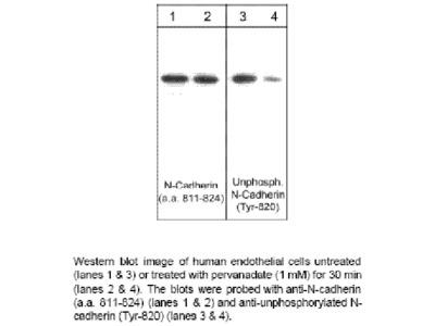 Unphosphorylated N-Cadherin (Tyr-820)