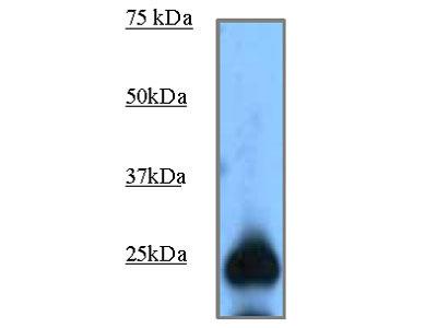 Rabbit anti GFP Polyclonal antibody