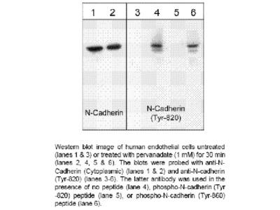 N-Cadherin (Tyr-820), phospho-specific