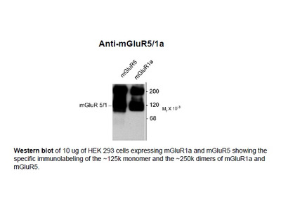 Anti-Metabotropic Glutamate Receptor 5/1a