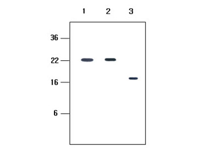 KIR2D antibody (clone 2H6)
