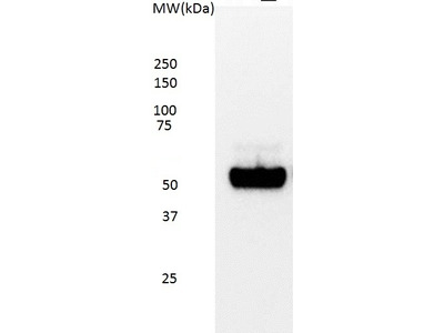 MOUSE ANTI p53 (aa20-25)