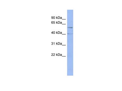 PPP2R5C antibody - middle region (ARP57771_P050)