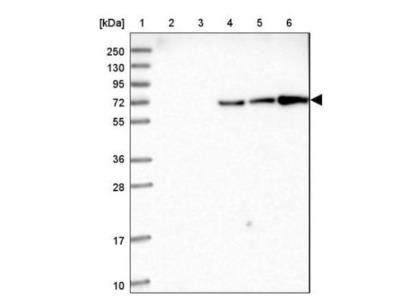 Ubiquitin C Antibody
